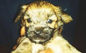Yorkie Poo pups 9 weeks 1st shots, looks like baby yorkies dad is akc yorkie mon is poodle male & females