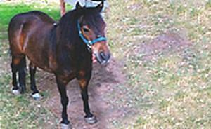 MINIATURE PONY Rideable, Trail Ridding Trained, Showers, Ties, Clips, Very Sweet & Gentle, Nice Pet