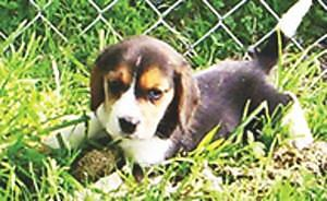 beagle pups akc 1st shots male & female parents on site