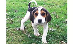 Walker Coonhound