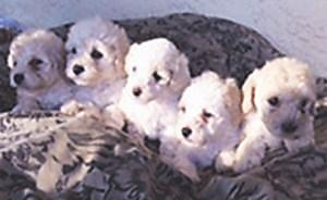 toy poodles 1st shots male & females 8 weeks parents on site