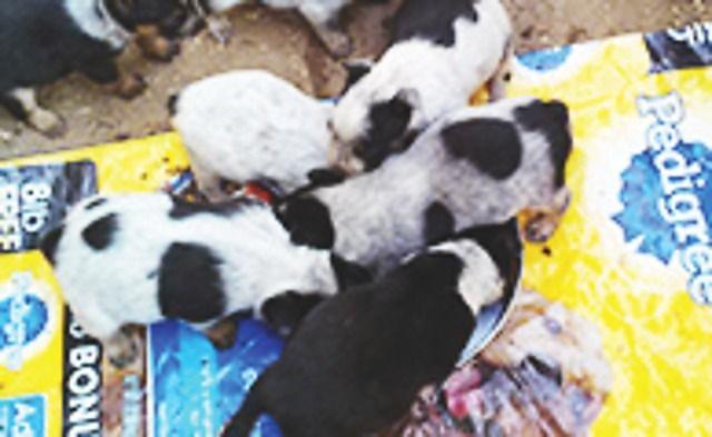 Queensland Heeler Pups