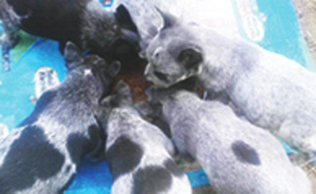 Queensland Heeler Pups