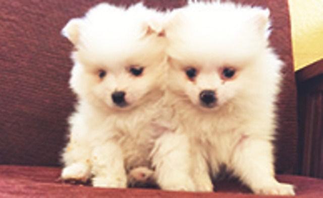 Pomeranian, males